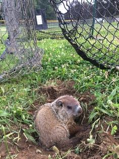 Trapped groundhog freed from baseball net at Norwich Little League field